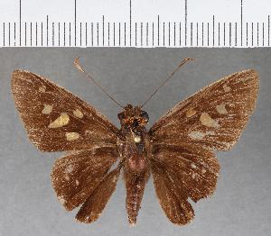(Hesperiidae_gen sp. CF446 - CFCD00799)  @11 [ ] copyright (2018) Christer Fahraeus Fahraeus Institute