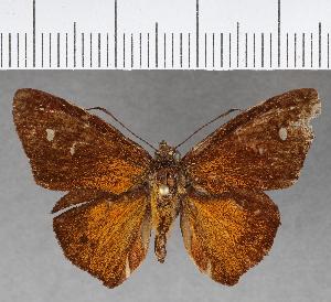 (Hesperiidae_gen sp. CF455 - CFCD00805)  @11 [ ] copyright (2018) Christer Fahraeus Fahraeus Institute