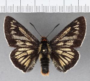 (Hesperiidae_gen sp. CF456 - CFCD00807)  @11 [ ] copyright (2018) Christer Fahraeus Fahraeus Institute