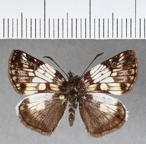 (Hesperiidae_gen sp. CF458 - CFCD00809)  @11 [ ] copyright (2018) Christer Fahraeus Fahraeus Institute