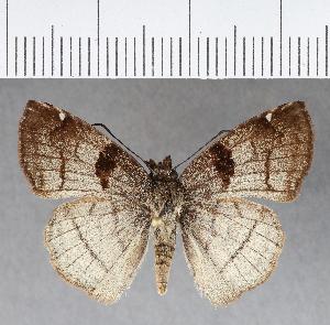 (Hesperiidae_gen sp. CF459 - CFCD00810)  @11 [ ] copyright (2018) Christer Fahraeus Fahraeus Institute