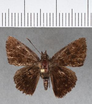 (Hesperiidae_gen sp. CF460 - CFCD00811)  @11 [ ] copyright (2018) Christer Fahraeus Fahraeus Institute