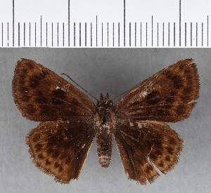 (Hesperiidae_gen sp. CF461 - CFCD00812)  @11 [ ] copyright (2018) Christer Fahraeus Fahraeus Institute