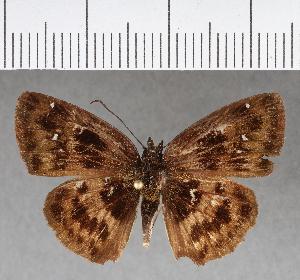 (Hesperiidae_gen sp. CF463 - CFCD00813)  @11 [ ] copyright (2018) Christer Fahraeus Fahraeus Institute