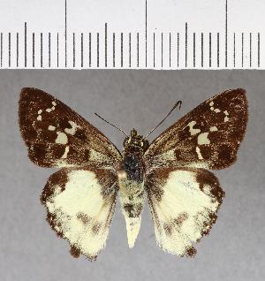 (Hesperiidae_gen sp. CF466 - CFCD00815)  @11 [ ] copyright (2018) Christer Fahraeus Fahraeus Institute