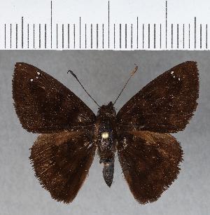 (Hesperiidae_gen sp. CF474 - CFCD00817)  @11 [ ] copyright (2018) Christer Fahraeus Fahraeus Institute