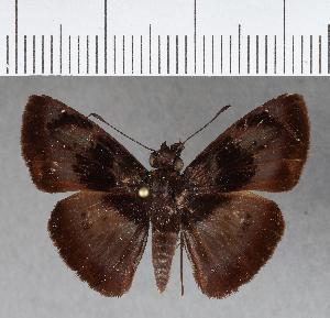 (Hesperiidae_gen sp. CF481 - CFCD00821)  @11 [ ] copyright (2018) Christer Fahraeus Fahraeus Institute
