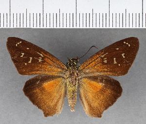 (Hesperiidae_gen sp. CF207 - CFCD00822)  @11 [ ] copyright (2018) Christer Fahraeus Fahraeus Institute
