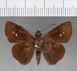 (Hesperiidae_gen sp. CF423 - CFCD00826)  @11 [ ] copyright (2018) Christer Fahraeus Fahraeus Institute