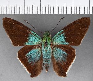 (Hesperiidae_gen sp. CF404 - CFCD00831)  @11 [ ] copyright (2018) Christer Fahraeus Fahraeus Institute