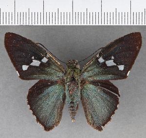 (Hesperiidae_gen sp. CF396 - CFCD00832)  @11 [ ] copyright (2018) Christer Fahraeus Fahraeus Institute