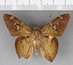 (Hesperiidae_gen sp. CF341 - CFCD00836)  @11 [ ] copyright (2018) Christer Fahraeus Fahraeus Institute