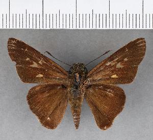 (Hesperiidae_gen sp. CF264 - CFCD00842)  @11 [ ] copyright (2018) Christer Fahraeus Fahraeus Institute