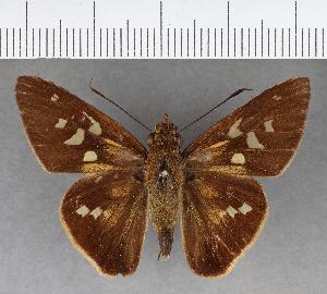 (Hesperiidae_gen sp. CF245 - CFCD00843)  @11 [ ] copyright (2018) Christer Fahraeus Fahraeus Institute