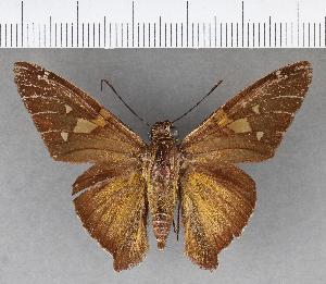 (Hesperiidae_gen sp. CF236 - CFCD00844)  @11 [ ] copyright (2018) Christer Fahraeus Fahraeus Institute