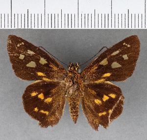 (Hesperiidae_gen sp. CF216 - CFCD00849)  @11 [ ] copyright (2018) Christer Fahraeus Fahraeus Institute