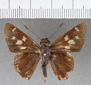 (Hesperiidae_gen sp. CF191 - CFCD00850)  @11 [ ] copyright (2018) Christer Fahraeus Fahraeus Institute