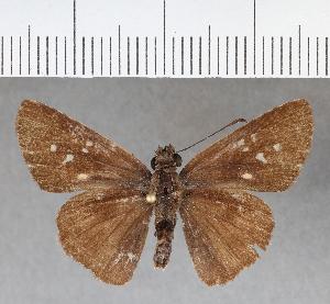 (Hesperiidae_gen sp. CF485 - CFCD00852)  @11 [ ] copyright (2018) Christer Fahraeus Fahraeus Institute