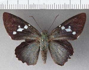 (Hesperiidae_gen sp. CF492 - CFCD00865)  @11 [ ] copyright (2018) Christer Fahraeus Fahraeus Institute