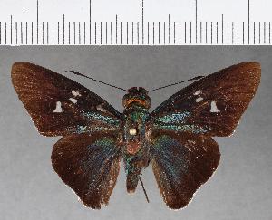 (Hesperiidae_gen sp. CF495 - CFCD00867)  @11 [ ] copyright (2018) Christer Fahraeus Fahraeus Institute