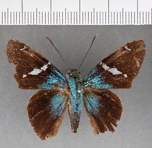 (Hesperiidae_gen sp. CF496 - CFCD00868)  @11 [ ] copyright (2018) Christer Fahraeus Fahraeus Institute