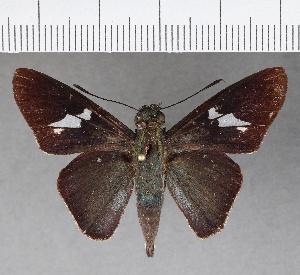 (Hesperiidae_gen sp. CF497 - CFCD00871)  @11 [ ] copyright (2018) Christer Fahraeus Fahraeus Institute