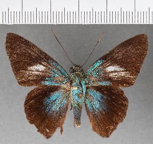 (Hesperiidae_gen sp. CF499 - CFCD00874)  @11 [ ] copyright (2018) Christer Fahraeus Fahraeus Institute