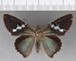 (Hesperiidae_gen sp. CF502 - CFCD00875)  @11 [ ] copyright (2018) Christer Fahraeus Fahraeus Institute