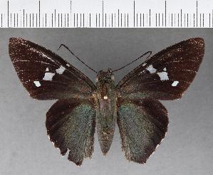 (Hesperiidae_gen sp. CF503 - CFCD00878)  @11 [ ] copyright (2018) Christer Fahraeus Fahraeus Institute