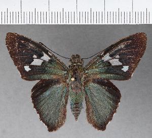 (Hesperiidae_gen sp. CF510 - CFCD00888)  @11 [ ] copyright (2018) Christer Fahraeus Fahraeus Institute