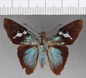 (Hesperiidae_gen sp. CF512 - CFCD00897)  @11 [ ] copyright (2018) Christer Fahraeus Fahraeus Institute
