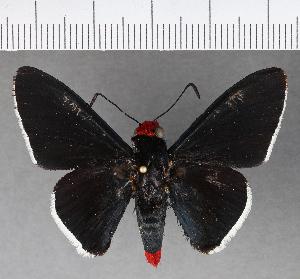 (Hesperiidae_gen sp. CF522 - CFCD00901)  @11 [ ] copyright (2018) Christer Fahraeus Fahraeus Institute