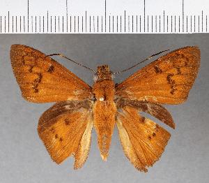 (Hesperiidae_gen sp. CF527 - CFCD00907)  @11 [ ] copyright (2018) Christer Fahraeus Fahraeus Institute