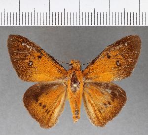 (Hesperiidae_gen sp. CF530 - CFCD00911)  @11 [ ] copyright (2018) Christer Fahraeus Fahraeus Institute