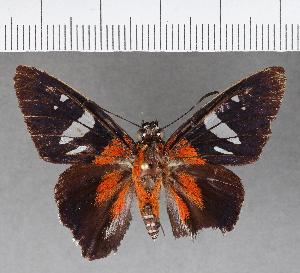(Hesperiidae_gen sp. CF533 - CFCD00916)  @11 [ ] copyright (2018) Christer Fahraeus Fahraeus Institute