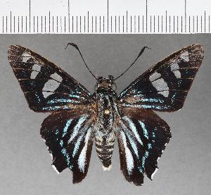 (Hesperiidae_gen sp. CF535 - CFCD00918)  @11 [ ] copyright (2018) Christer Fahraeus Fahraeus Institute