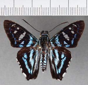 (Hesperiidae_gen sp. CF541 - CFCD00921)  @11 [ ] copyright (2018) Christer Fahraeus Fahraeus Institute