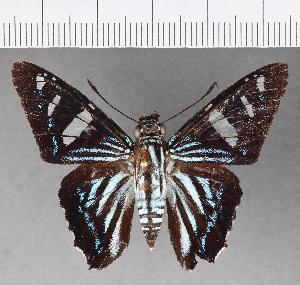 (Hesperiidae_gen sp. CF546 - CFCD00928)  @11 [ ] copyright (2018) Christer Fahraeus Fahraeus Institute