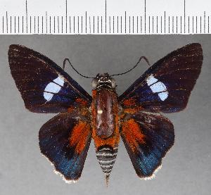 (Hesperiidae_gen sp. CF551 - CFCD00932)  @11 [ ] copyright (2018) Christer Fahraeus Fahraeus Institute