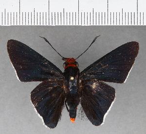 (Hesperiidae_gen sp. CF556 - CFCD00933)  @11 [ ] copyright (2018) Christer Fahraeus Fahraeus Institute