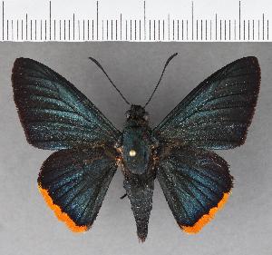 (Hesperiidae_gen sp. CF558 - CFCD00938)  @11 [ ] copyright (2018) Christer Fahraeus Fahraeus Institute