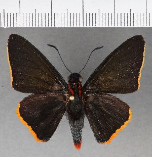 (Hesperiidae_gen sp. CF560 - CFCD00943)  @11 [ ] copyright (2018) Christer Fahraeus Fahraeus Institute