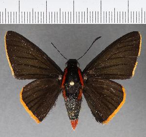 (Hesperiidae_gen sp. CF561 - CFCD00945)  @11 [ ] copyright (2018) Christer Fahraeus Fahraeus Institute