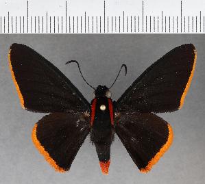 (Hesperiidae_gen sp. CF562 - CFCD00949)  @11 [ ] copyright (2018) Christer Fahraeus Fahraeus Institute
