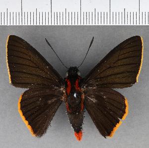 (Hesperiidae_gen sp. CF563 - CFCD00950)  @11 [ ] copyright (2018) Christer Fahraeus Fahraeus Institute