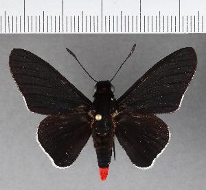 (Hesperiidae_gen sp. CF564 - CFCD00951)  @11 [ ] copyright (2018) Christer Fahraeus Fahraeus Institute
