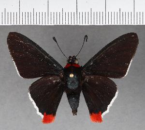 (Hesperiidae_gen sp. CF566 - CFCD00956)  @11 [ ] copyright (2018) Christer Fahraeus Fahraeus Institute
