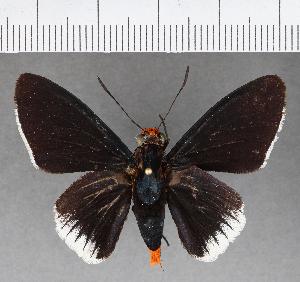(Hesperiidae_gen sp. CF567 - CFCD00957)  @11 [ ] copyright (2018) Christer Fahraeus Fahraeus Institute