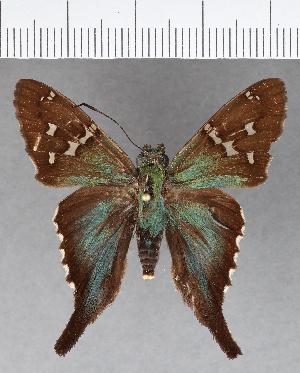 (Hesperiidae_gen sp. CF570 - CFCD00978)  @11 [ ] copyright (2018) Christer Fahraeus Fahraeus Institute
