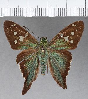 (Hesperiidae_gen sp. CF571 - CFCD00979)  @11 [ ] copyright (2018) Christer Fahraeus Fahraeus Institute